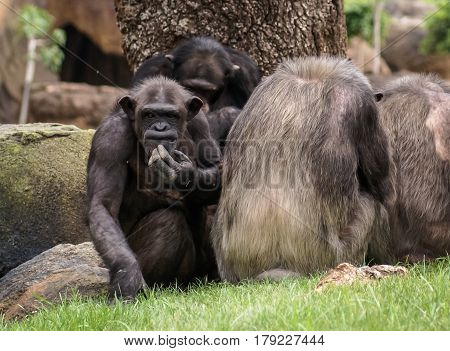 Scenic view of a crowded group of monkeys with one of them scrathing its chin