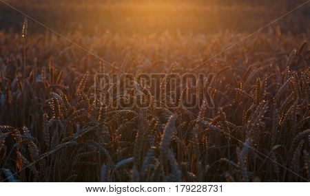 Field with ripe cereals at sunset. The spikes are illuminated by the backlight of the setting sun. Agriculture background