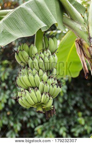 Banana bunch of raw on banana tree in banana plantations.