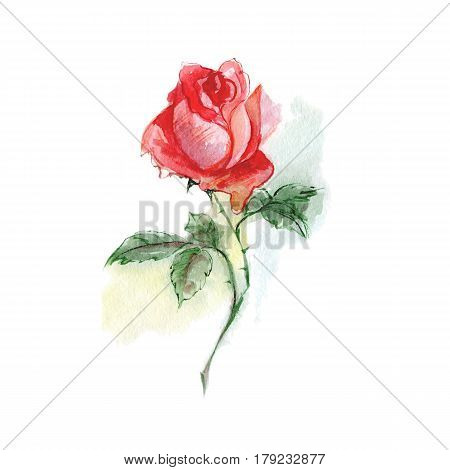 Single flower. Watercolor flower red rose, sketch