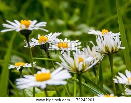 chamomile flowers on a background of green grass