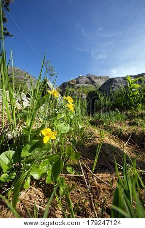 Yellow Flowers Of The Sayan Mountains Sunny Summer Day