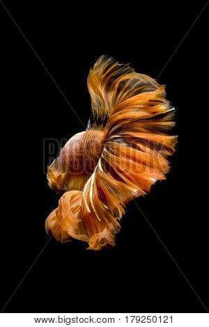 Close Up Of Betta Fish Or Siamese Fighting Fish In Movment Isolated On Black Background.