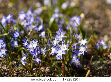 Glory of the snow. Chionodoxa. One of the very earliest signs of spring is when the glory of the snow emerges with its magnificent blue star-shaped petals and white center
