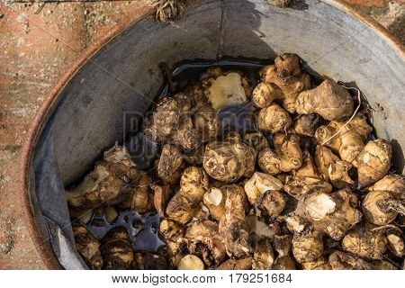 Spring Preparing the garden the last of the winters supply of Jerusalem artichokes are dug up and stored in a vintage zinc bucket