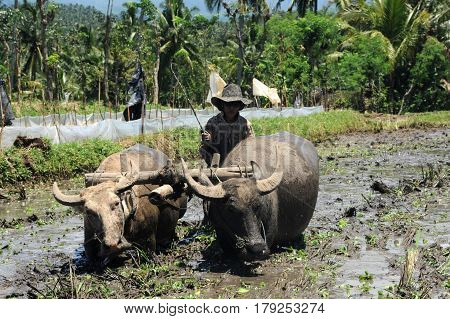 Bali, indonesia - 5 february 2013: Farmer plowing a field with two Oxen on the island of Bali, Indonesia