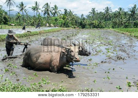 Farmer Plowing A Field With Two Oxen