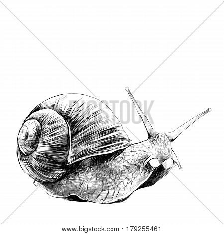 the snail sketch vector graphics black and white drawing