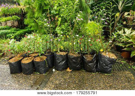 seedling of colourful flowers in plastic pot sell by florist photo taken in Jakarta Indonesia java