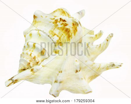 white and bown spotted sea shell lambis isolated