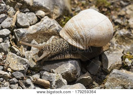Snail crawling on rocks path , outdoor