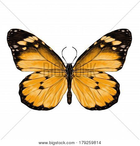 butterfly with open wings top view the symmetrical drawing graphics sketch vector color image yellow wings with black pattern on the edges