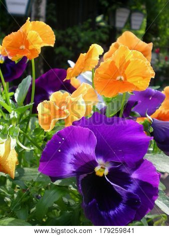 A cute bush of pansy flowers with orange pansy and purple pansy