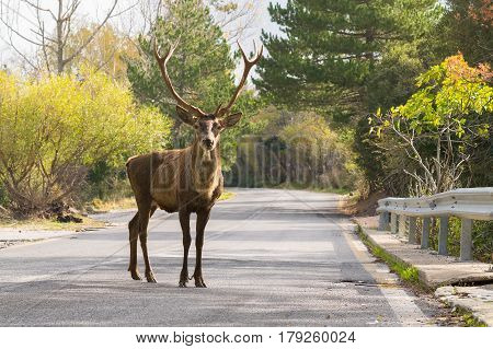 Male deer at the road of Parnitha mountain in Greece looking at the camera. A funny moment.