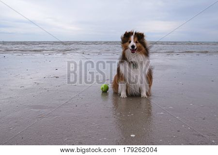 Shetland Sheepdog having happy walkies on an Australian beach with tennis ball ready for a game