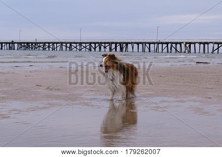 Shetland Sheepdog having happy walkies on an Australian beach yawn reflection