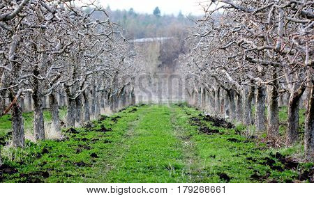 Natural Fertilizing An Apple Orchard In Spring