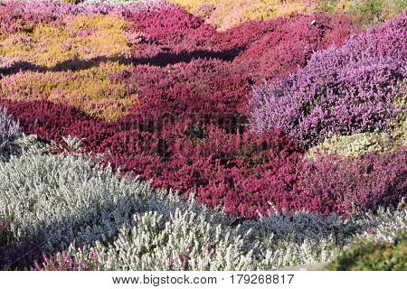 Field of vibrant heather in bright sunshine and strong shadows