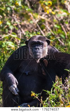 Thoughtful chimpanzee with baby. SweetWater, Kenya. Africa