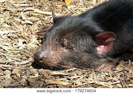 Close-up of an Australian Tasmanian Devil animal asleep on the ground