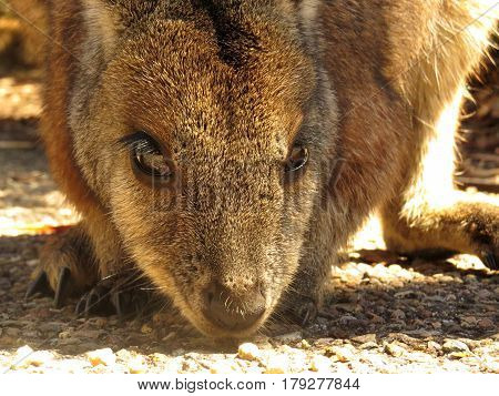 Close-up of a wallaby face Australian animal marsupial