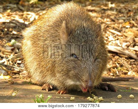 Close-up of a Potoroo Bandicoot marsupial Australian animal rodent eat