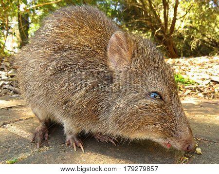 Close-up of a Potoroo Bandicoot marsupial Australian animal rodent poster