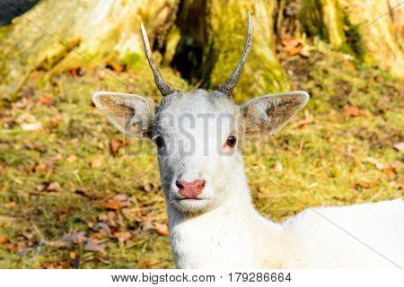Herd of white fallow deer in nature at sunset. Fallow deer in rut. Latin name - Dama dama. Rare albino fallow deer.