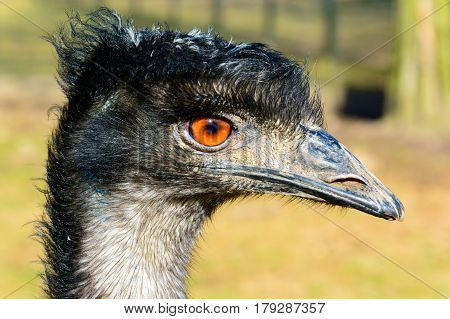 Portrait of emu. The ostrich is looking into the lens. Dromaius novaehollandiae. Detailed photo ostrich head. Large orange eye. Mini Zoo in Castolovice.
