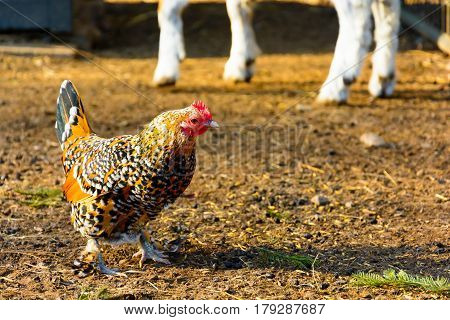 Gold speckled hen on the farm. Gallus gallus domesticus. Hen searching for food in the paddock. Hens at sunset.