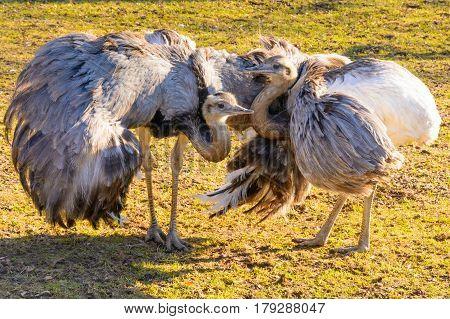 Ostrich courtship. Two ostriches rhea at sunset. Ostrich love. Rhea americana. Mini Zoo in Castolovice.