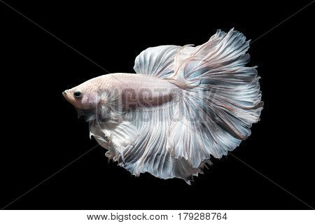 Betta fishSiamese fighting fish in movement isolated on black background.