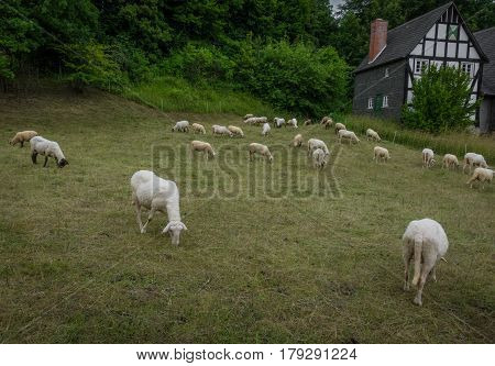 Grazing Sheeps In A Pasture Near The Farmhouse