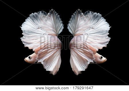 Betta Fish,siamese Fighting Fish In Movement Isolated On Black Background