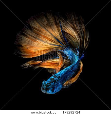 Colourful Betta fish Siamese fighting fish in movement isolated on black background