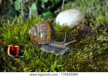 Snail in the moss in the deep forest after rain in spring. Big snail in nature