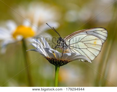 Black Veined White Resting On Daisy