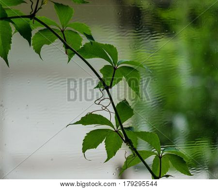 The Wall And Window Of An Old Farmhouse Inside With Grape Leaves