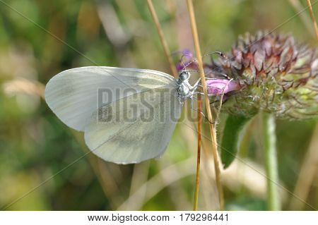 Leptidea sinapis butterfly close-up on a wild flower. The Wood White butterfly.