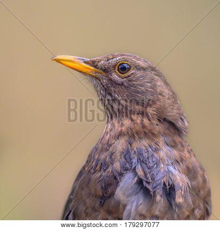 Portrait Of Female Blackbird