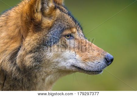 Profile Portrait Of European Wolf