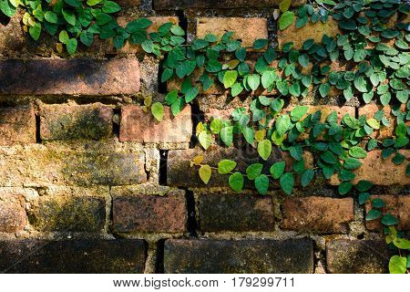 Geen ivy leaves on old brick wall for background