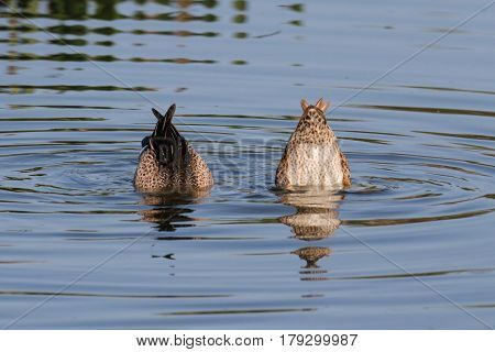 Pair of Blue-winged Teal (anas discors) swimming in the Florida Everglades
