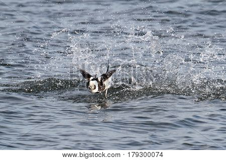 Long-tailed Duck (Oldsquaw Clangula hyemalis) taking flight