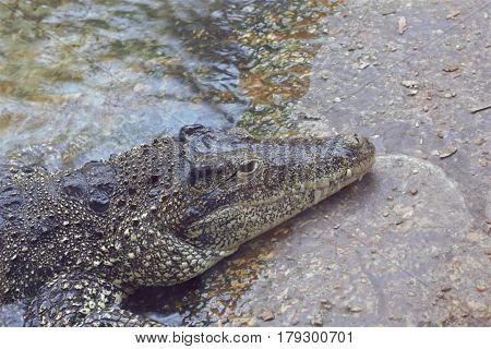 An alligator with body in the water and head on concrete