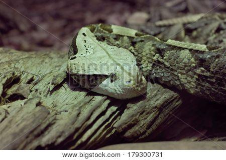 A close up look at a large viper