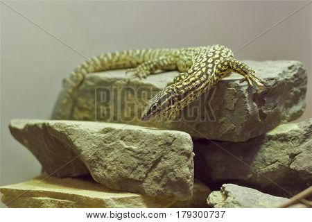 A colorful lizard on top of stacks rocks