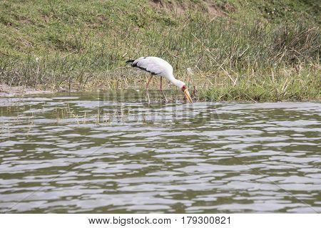 Yellow Billed Stork Eating In Kazinga Channel, Queen Elizabeth National Park, Uganda