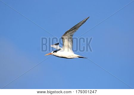 Elegant Tern (Sterna elegans) in flight fishing in the Pacific Ocean