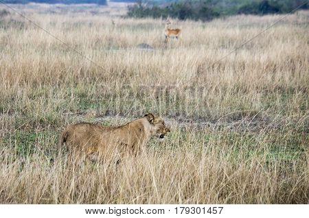 Lioness In Tall Grasses, Queen Elizabeth National Park, Uganda